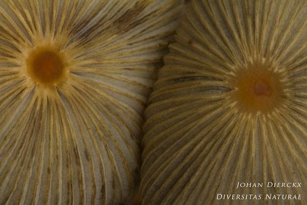 Parasola auricoma - Kastanje-inktzwam