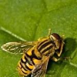 Parhelophilus versicolor - Gewone Fluweelzweefvlieg