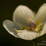 Parnassia palustris - Parnassia