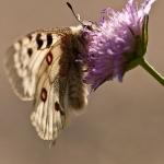Parnassius apollo - Apollovlinder
