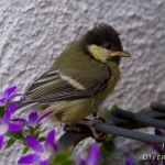 Parus major - Koolmees