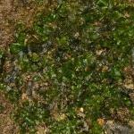 Pellia endiviifolia - Gekroesd plakkaatmos