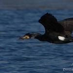 Phalacrocorax carbo - Aalscholver