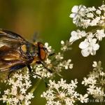 Phasia hemiptera - Wantssluipvlieg