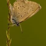 Phengaris alcon - Gentiaanblauwtje