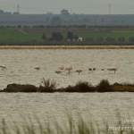 Phoenicopterus roseus - Gewone flamingo