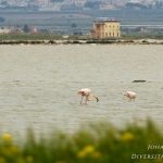 Familia Phoenicopteridae - Flamingo\'s