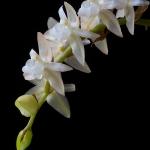 Pholidota chinensis