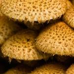 Pholiota squarrosa - Schubbige bundelzwam
