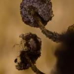 Physarum album - Knikkend kalkkopje