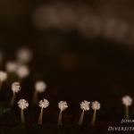 Physarum leucophaeum - Grijswit kalkkopje