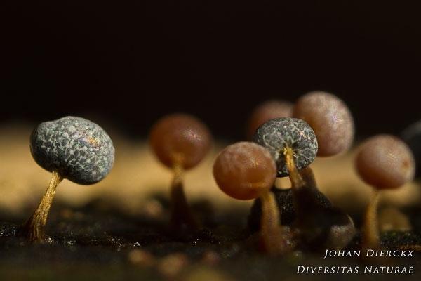Physarum leucopus - Witsteelkalkkopje