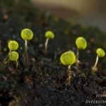 Physarum viride - Geelgroen kalkkopje