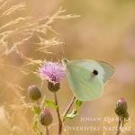 Pieris brassicae - Groot koolwitje