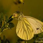 Familia Pieridae - Witjes