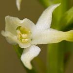 Platanthera bifolia - Welriekende nachtorchis (Lusus naturae)
