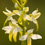 Platanthera bifolia - Welriekende nachtorchis