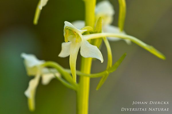 Platanthera chlorantha - Bergnachtorchis