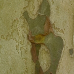 Platanus hispanica - Plataan