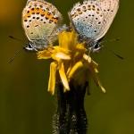 Plebejus idas - Vals heideblauwtje