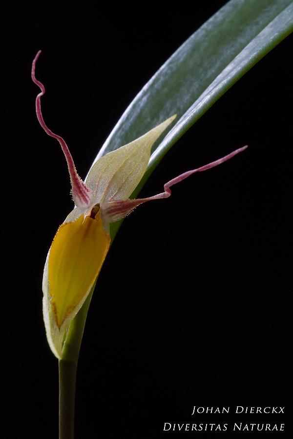 Pleurothallis hemirhoda