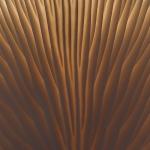 Pleurotus ostreatus - Gewone oesterzwam