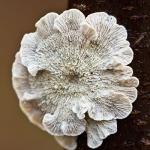 Familia Amylocorticiaceae
