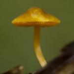Pluteus leoninus - Goudgele hertenzwam
