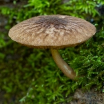 Pluteus umbrosus - Pronkhertenzwam