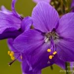 Familia Polemoniaceae - Vlambloemfamilie