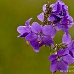 Polemonium caeruleum - Jakobsladder