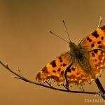 Familia Nymphalidae - Aurelia's