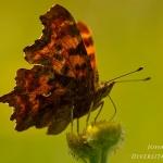 Polygonia c-album - Gehakkelde aurelia
