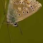 Polyommatus bellargus - Adonisblauwtje