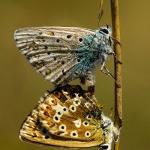 Polyommatus coridon - Bleek blauwtje