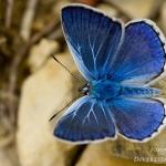 Polyommatus escheri - Groot tragantblauwtje