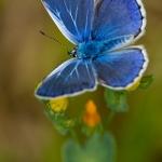 Familia Lycaenidae - Blauwtjes, Kleine pages en Vuurvlinders