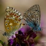 Polyommatus hispana - Provençaals bleek blauwtje