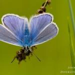 Polyommatus thersites - Esparcetteblauwtje