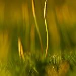 Polytrichum formosum - Fraai haarmos