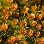 Polytrichum juniperinum - Zandhaarmos