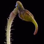 Porroglossum echidna