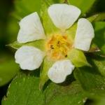 Familia Rosaceae - Rozenfamilie