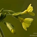 Familia Primulaceae - Sleutelbloemfamilie