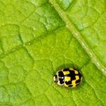 Propylea quatuordecimpunctata - Veertienstippelig Lieveheersbeestje