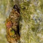 Proutia betulina - Sierlijke zakdrager