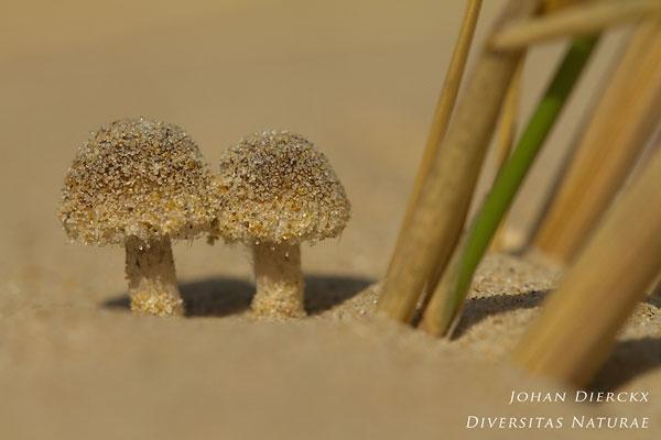 Psathyrella ammophila - Duinfranjehoed