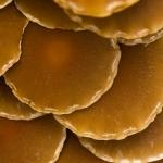Psathyrella piluliformis - Witsteelfranjehoed