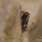 Psectrotanypus varius