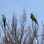Familia Psittaculidae - Papegaaien van de Oude Wereld